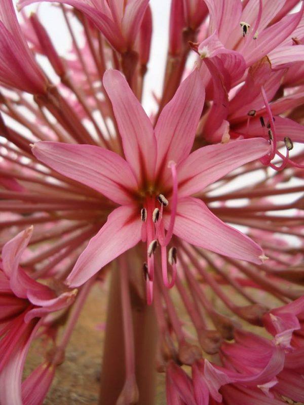 brunsvigia, hagymás, virágzás, Dél-Afrika