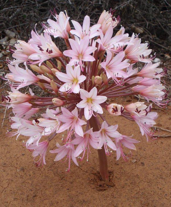 brunsvigia virágzás