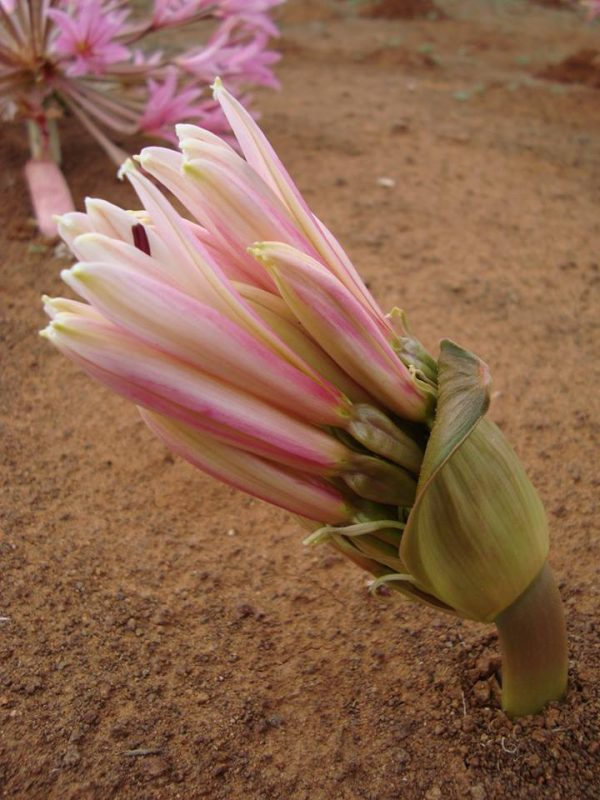 brunsvigia, virágzás, hagymás, Dél-Afrika
