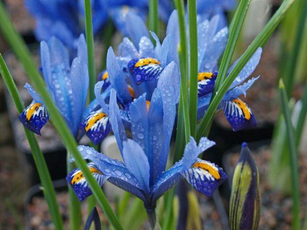 Iris reticulata, írisz, nőszirom