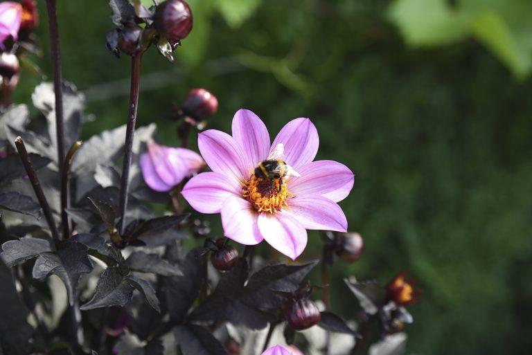 méhbarát virág