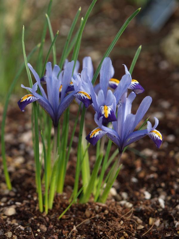iris bakeriana, írisz, nőszirom