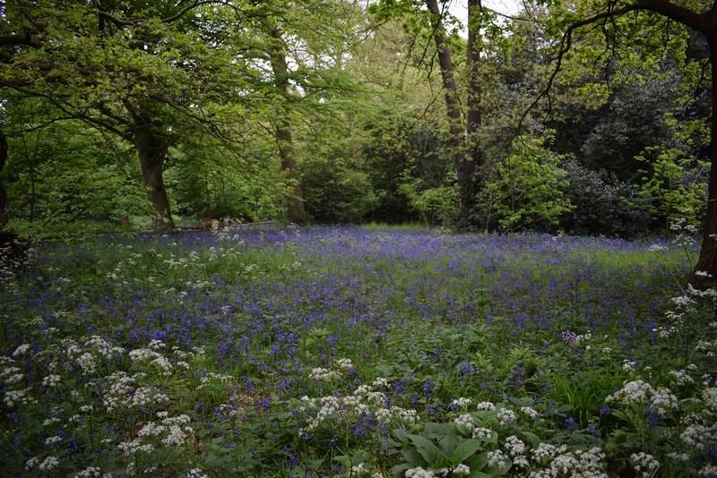 angol kékcsengő virágszőnyeg