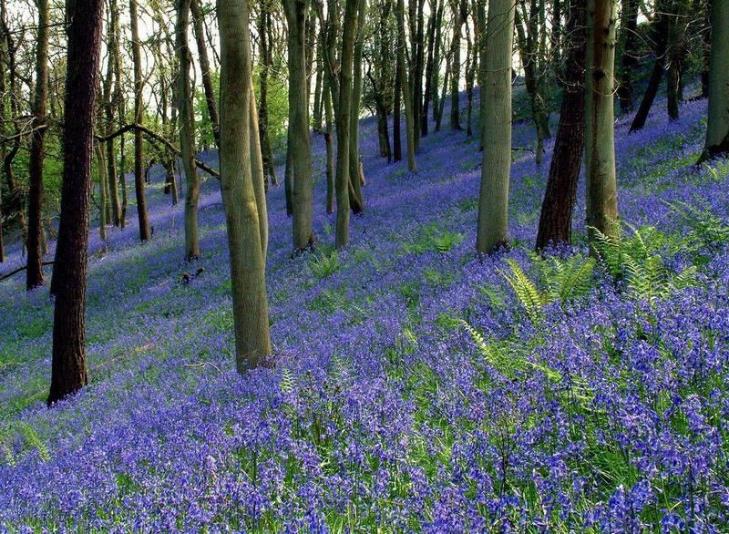 angol kékcsengő, Anglia, erdő