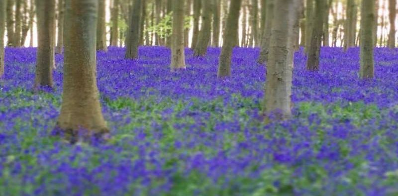 angol kékcsengő virágzás