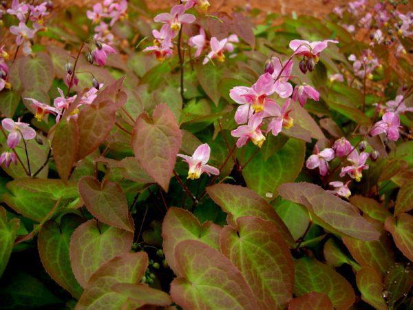 Epimedium x versicolor 'Cherry Tart'