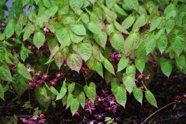 Epimedium-alpinum