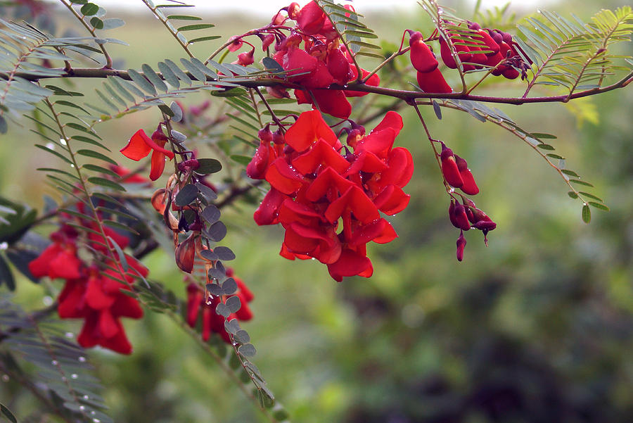 Vöröslő dézsás szépség az Argentin piros akác