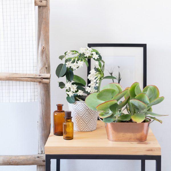 illatos kúszónövény lakásban