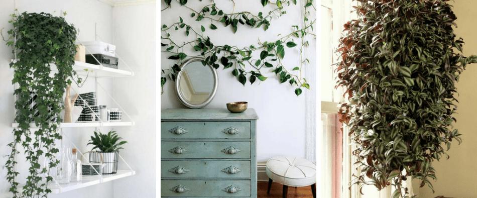 illatos kúszónövény lakásba