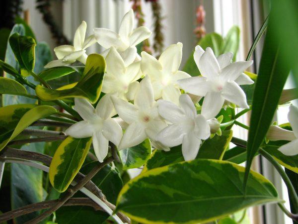 illatos szobanövény, koszorúfutóka