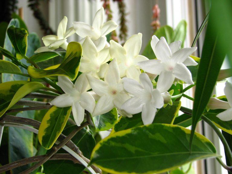 illatos szobanövény