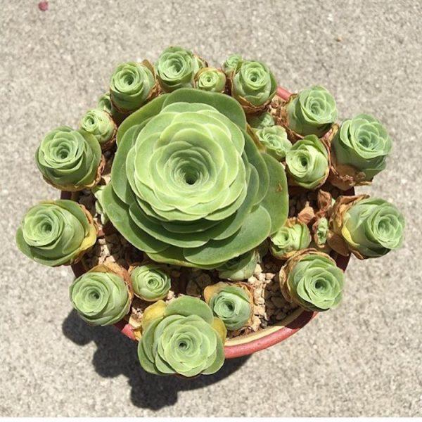 greenovia rózsabimbó pozsgás