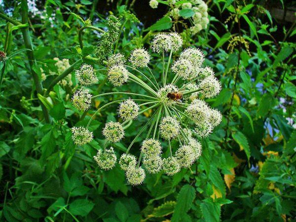 angyalgyökér fűszernövény