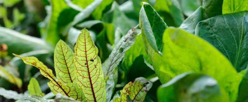 árnyéktűrő fűszernövények