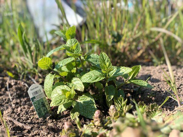 szelíd növényvédelem mentával