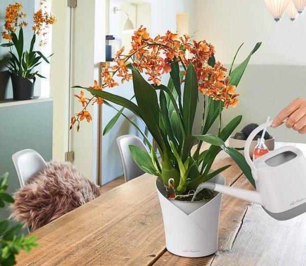 orchidea helyes öntözése