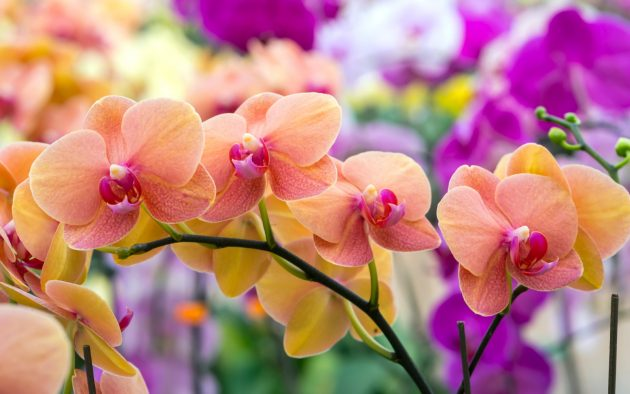 orchidea virágzás titka