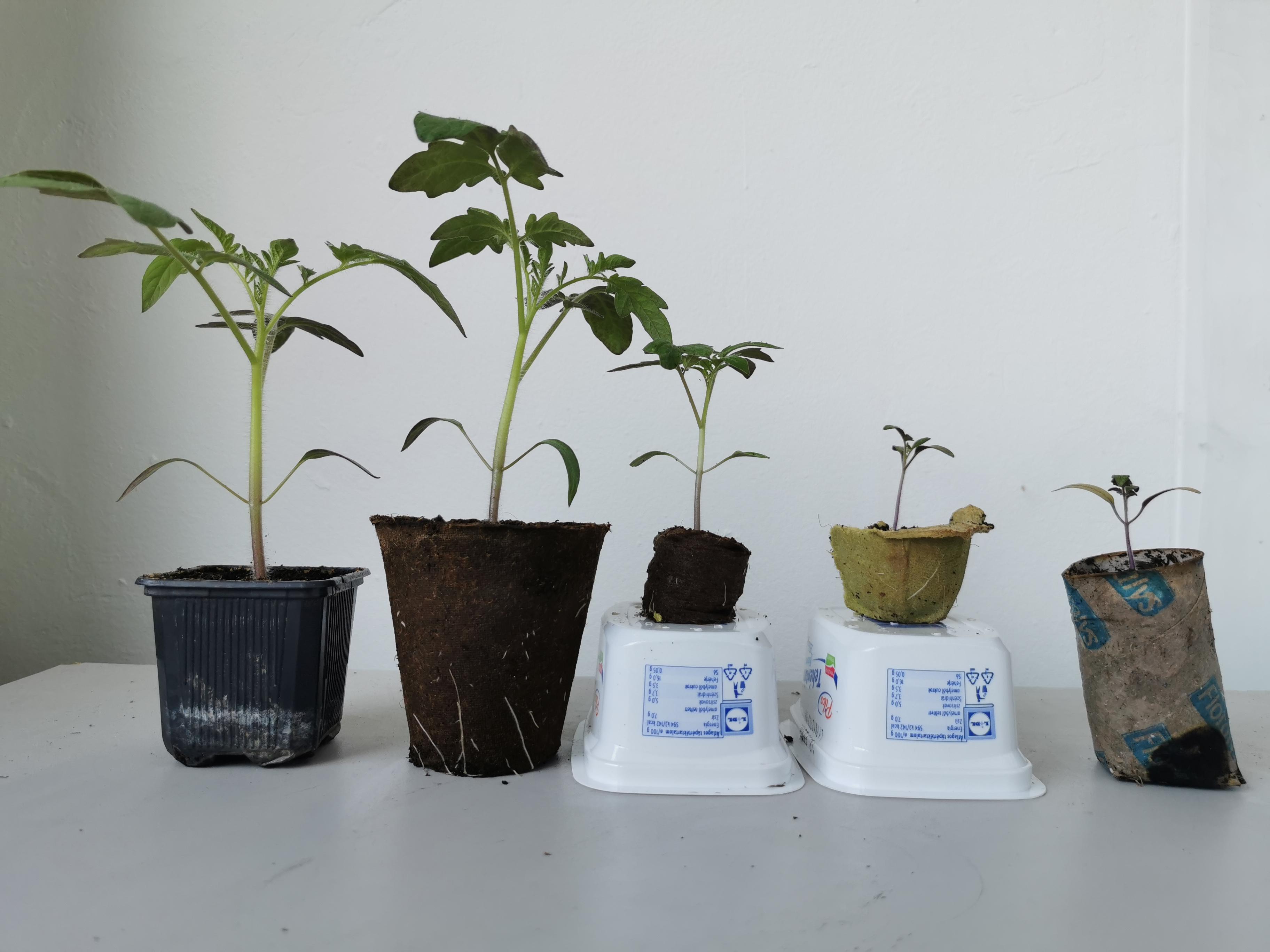 Miben nő a legjobban a paradicsom palánta? - Olvasói kísérlet a tőzegcseréptől, WC-gurigán át a műanyag pohárig