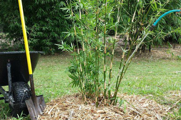 bambusz ültetése
