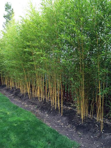 Phyllostachys aureosulcata Spectabilis bambusz