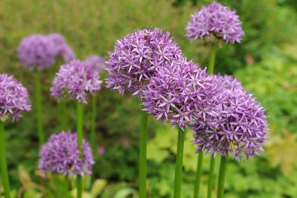 purple sensation díszhagyma